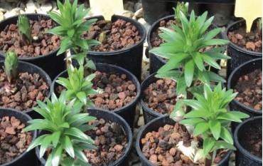 Süs Bitkisi Üreticiliğinde Agropomza